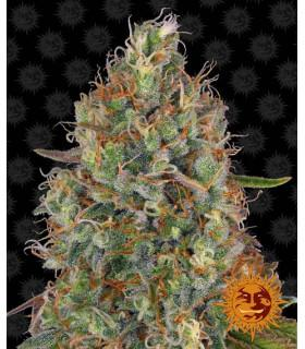 Sweet Tooth Auto (Barney's Farm)