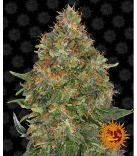 Pineapple Express - Barney's Farm