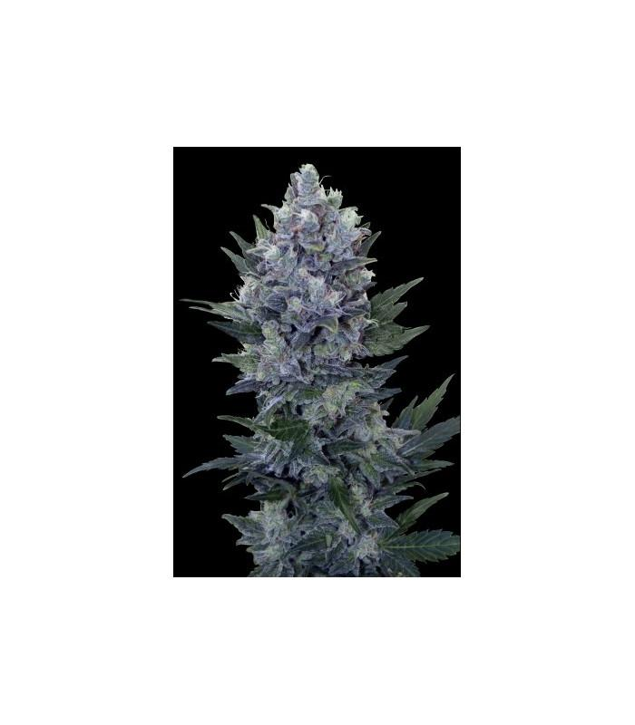 Northern Light Automatic (Royal Queen Seeds)