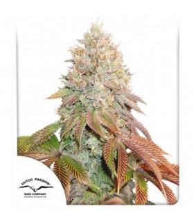 Auto Banana Blaze (Dutch Passion)