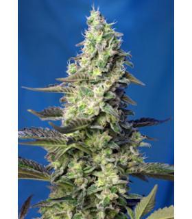 Green Poison XL Auto (Sweet Seeds)