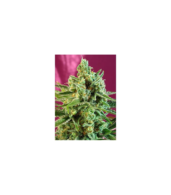 S.A.D. Sweet Afghani Delicious CBD (Sweet Seeds)