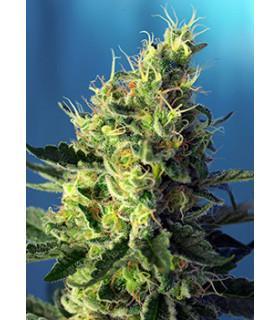 Sweet Pure CBD (Sweet Seeds)