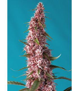 Red Pure Auto CBD (Sweet Seeds)