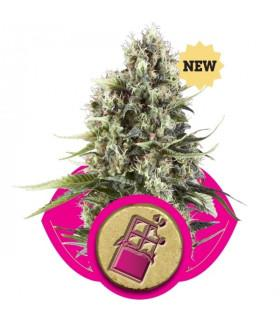 Chocolate Haze (RQS)