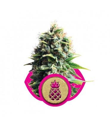 Pineapple Kush (RQS)