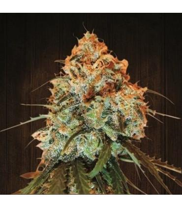 Golden Tiger (ACE Seeds)