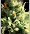 Lemon Skunk (Greenhouse Seeds)