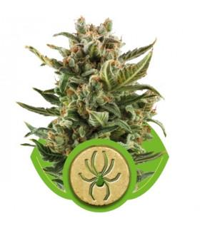White Widow Automatic (Royal Queen Seeds)