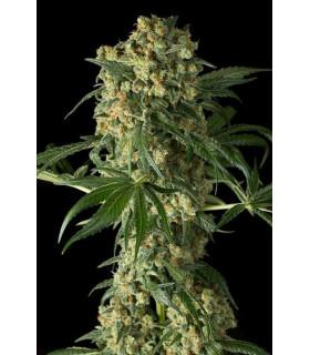 Big Kush (Dinafem Seeds)