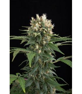 Blue Thai (Dinafem Seeds)