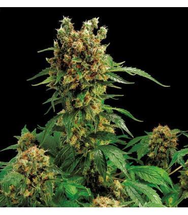 California Hash Plant (Dinafem Seeds)