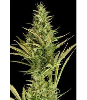 Cheese XXL Autoflowering (Dinafem Seeds)