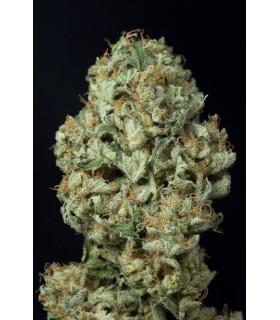 Dinamex Autoflowering (Dinafem Seeds)
