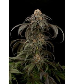 Purple Afghan Kush (Dinafem Seeds)
