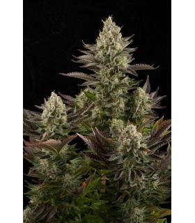 White Widow (Dinafem Seeds)