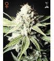 Great White Shark (Greenhouse Seeds)