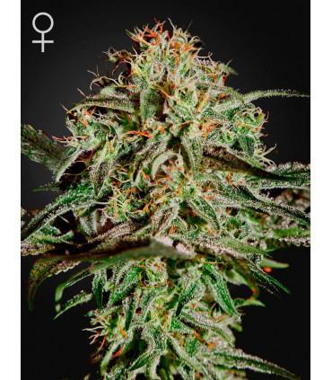 AMS (Greenhouse Seeds)