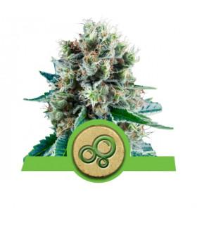 Bubble Kush Automatic (Royal Queen Seeds)