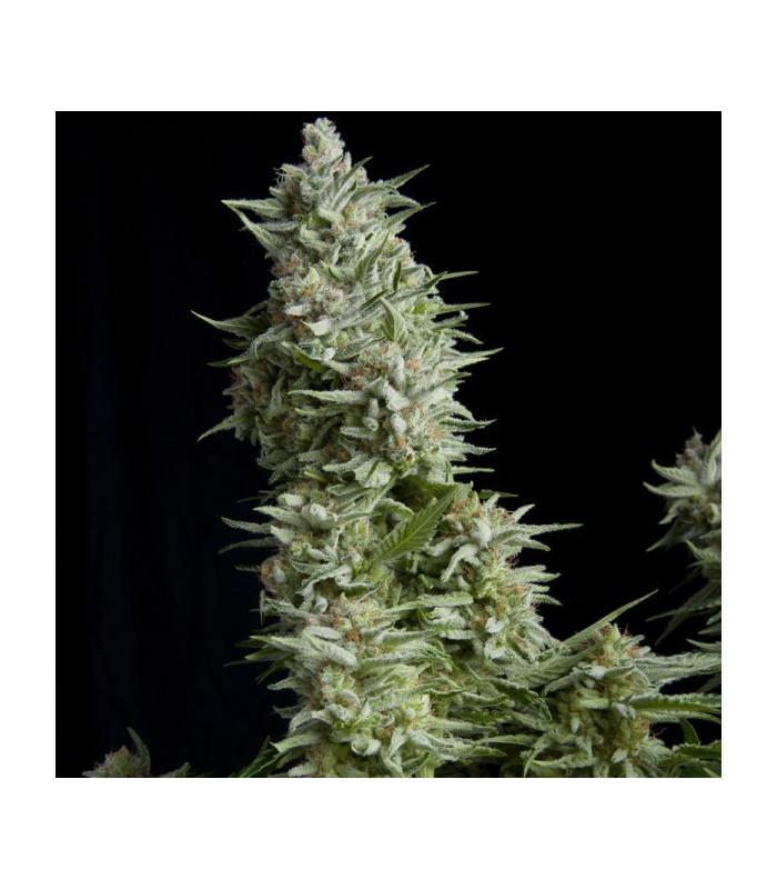 Alpujarreña (Pyramid Seeds)