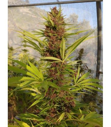 Malawi x PCK (ACE Seeds)