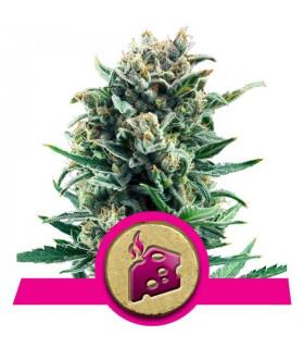 Blue Cheese (RQS)