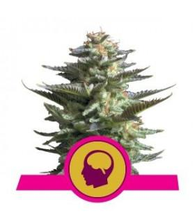 Amnesia Haze (Royal Queen Seeds)
