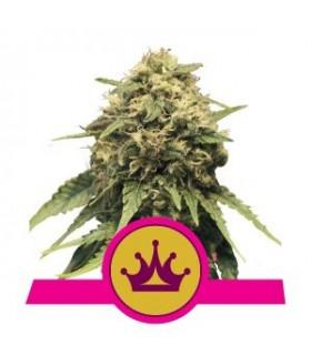 Special Queen (Royal Queen Seeds)