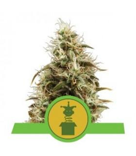 Jack Herer - Royal Jack Automatic (Royal Queen Seeds)
