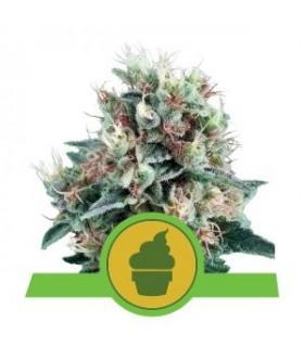 Royal Creamatic (Royal Queen Seeds)