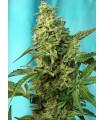 Green Poison F1 Fast Version (Sweet Seeds)