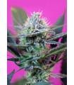 +Speed Autoflowering (Sweet Seeds)