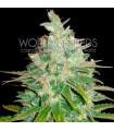 Afghan Kush x Black Domina (World of Seeds)