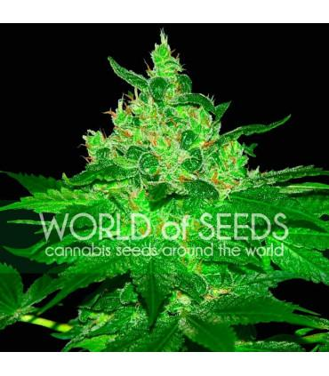 Afghan Kush (World of Seeds)