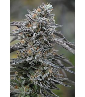Black D.O.G. (Humboldt Seeds)