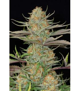 Sweet Deep Grapefruit (Dinafem Seeds)