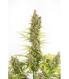 Amnesia Autoflowering CBD (Dinafem Seeds)