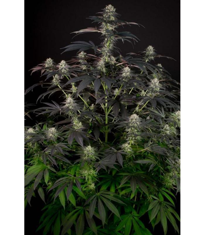 Bubba Kush CBD (Dinafem Seeds)