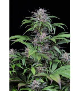 Quick Kush (Dinafem Seeds)