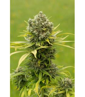 Dinamed CBD Plus (Dinafem Seeds)