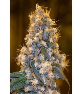 Blue Fire (Humboldt Seeds)