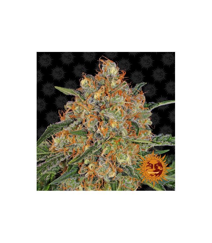 Orange Sherbert (Barney's Farm)