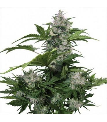 White Dwarf (Buddha Seeds)