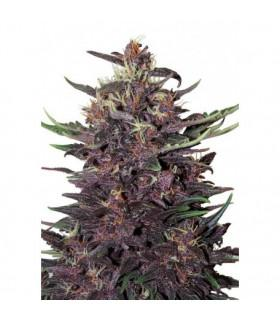 Purple Kush (Buddha Seeds)
