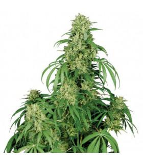 Calamity Jane (Buddha Seeds)
